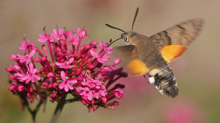 A moth hoving above flowers