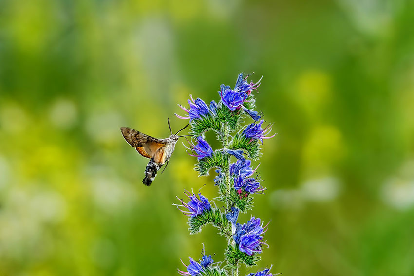 Moth hoving above flower