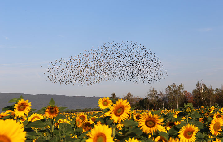 A large flock of birds in the sky over a sunflower field